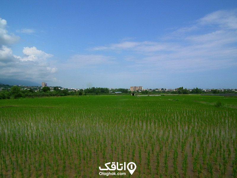 برنج طارمی چالوس