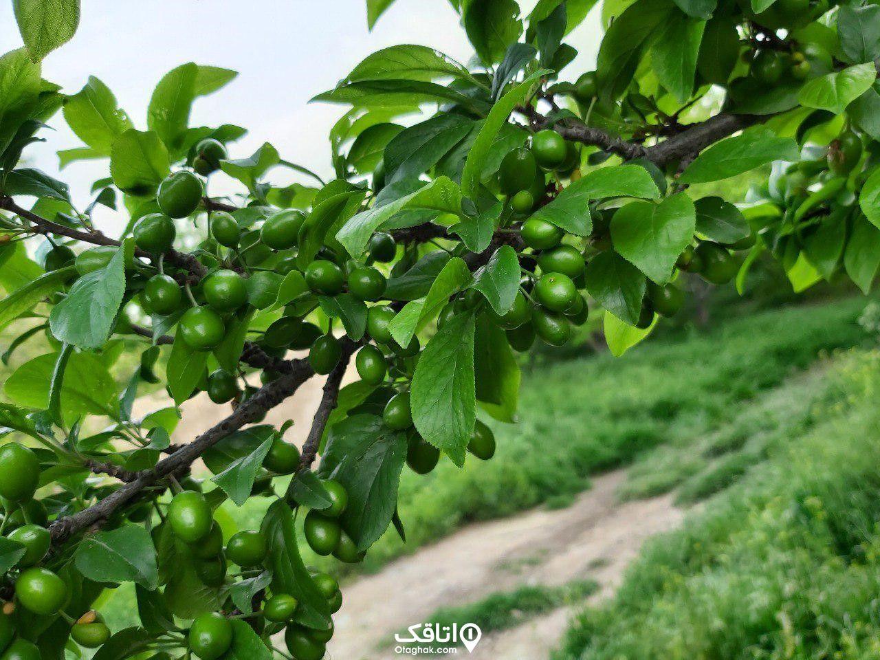 گوجه سبز شهریار