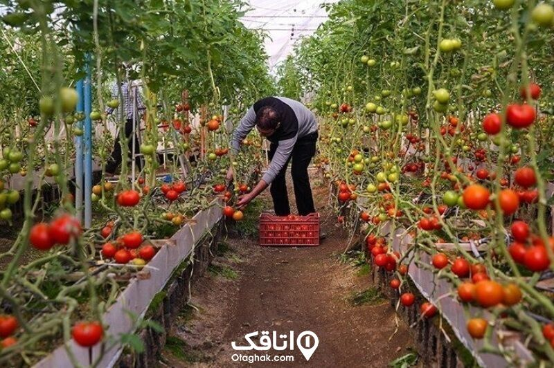 محصولات کشاورزی ورامین